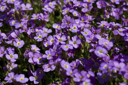 impatiens: little purple flower (Impatiens ) as background Stock Photo