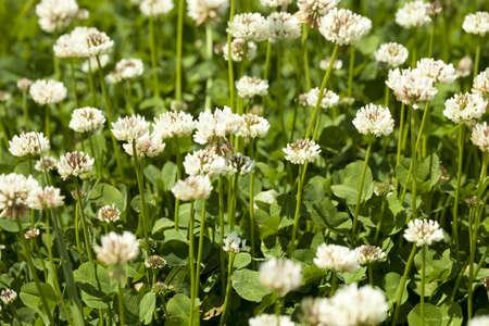 white flower clover on green background  leaf Stock Photo - 17375256