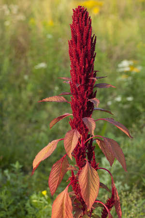 amaranthus: single red flower (Amaranthus) on meadow Stock Photo