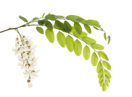 branch acacia with leaf and flower on white