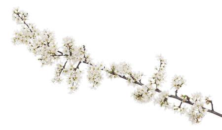 mas: blooms branch corneal-tree (Cornus mas) on white background