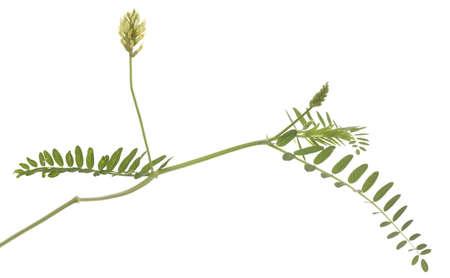 liquorice: single flower liquorice (Glycyrrhiza) on white background