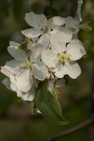 inflorescence: branch apple-tree with white inflorescence as background