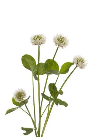 trifolium repens: white clover (Trifolium repens) on white background Stock Photo
