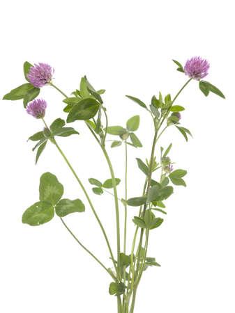 trifolium: red clover (Trifolium pratense) on white background Stock Photo