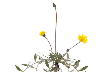 hieracium: seedling young flower (Hieracium pilosella) on white background