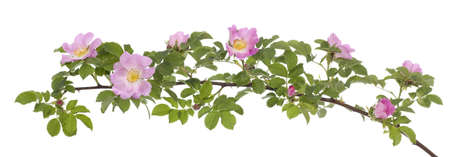 developed: branch briar rose with developed pink  flower