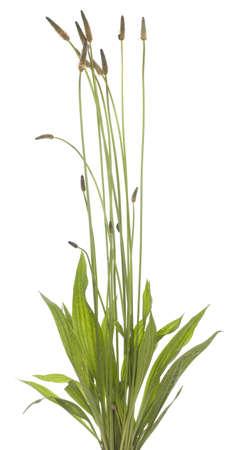 tuft ribwort (Plantago lanceolata) on white background