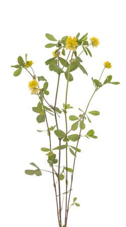yellow little clover (Trifolium campestre Schreb)  on white Stock Photo - 20306746