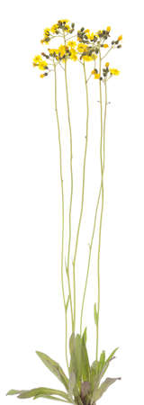 hawkweed: yellow hawkweed (hieracium caspitosum) on white background Stock Photo