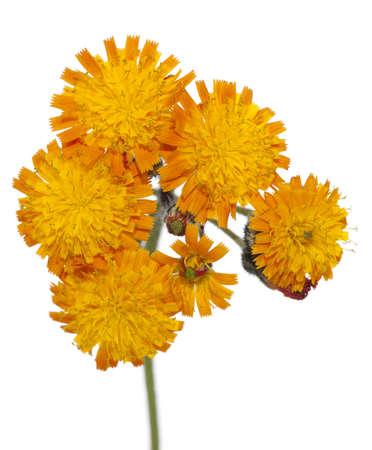 hieracium: orange flower (hieracium aurantiacum) on white background Stock Photo