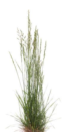 jeune touffe d'herbe (Festuca ovina) sur fond blanc