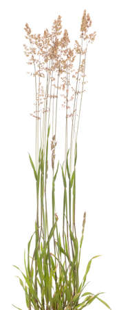 jeune touffe d'herbe (Holcus lanatus) sur fond blanc