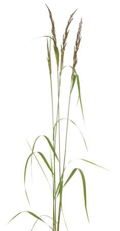 tuft: young tuft grass (Festuca arundinacea) on white background Stock Photo