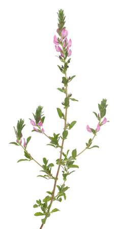 arvensis: single flower (Ononis arvensis) on white background