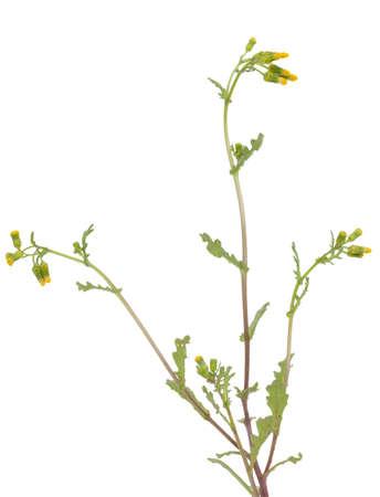senecio: little yellow flower (Senecio vulgaris) on white