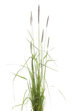 tuft: young tuft grass (Alopecurus pratensis) on white background