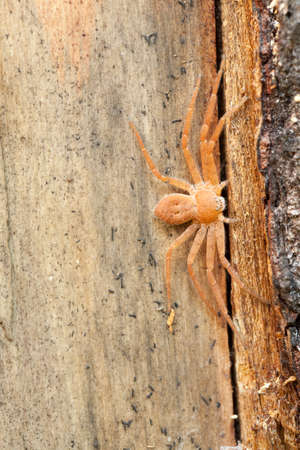little spider (Philodromus fuscomarginatus) on trunk tree photo