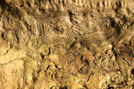 quercus: structure in wood oak (Quercus) as background