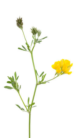 falcata: single flower lucerne (Medicago falcata) on white background