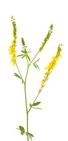 herbal flower(Melilotus officinalis) on white background Stock Photo