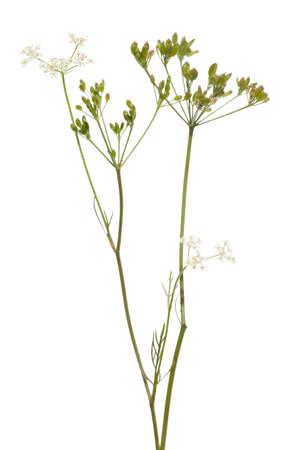 白い背景の上の未熟なクミンの新鮮な植物
