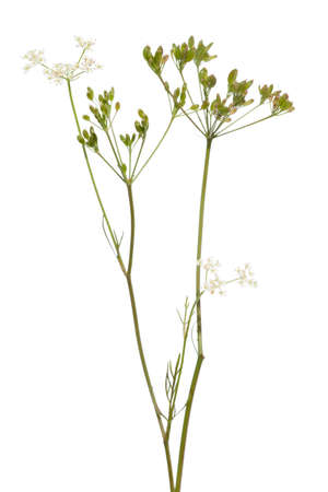 caraway: fresh plant of unripe cumin on white background