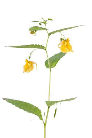 impatiens: yellow flower (Impatiens noli-tangere) on white background