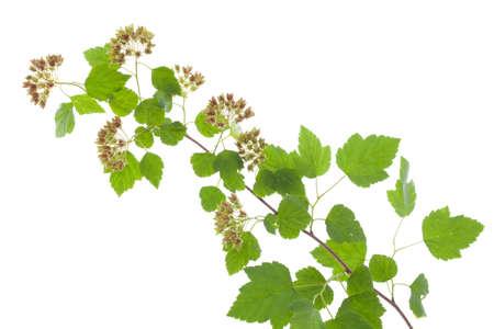 cease: ramo fiorito (Physocarpus opulifolius) su sfondo bianco Archivio Fotografico