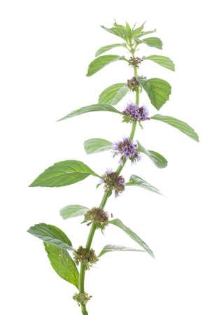 arvensis: fresh spearmint (Mentha arvensis) on white background Stock Photo