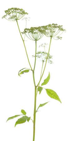 edible: edible plant (Aegopodium podagraria ) on white background