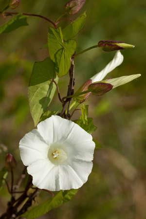 developed: blanco desarroll� correhuela (Convolvulus) en el fondo