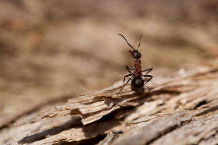 rufa: red ant (Formica rufa) sit on bark
