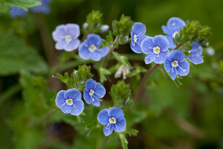 veronica flower: blue small flower (Veronica chamaedrys)  on meadow