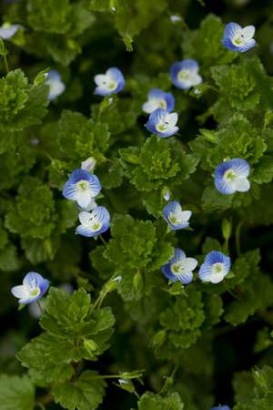 veronica flower: blue small flower (Veronica persica Poir)  on meadow