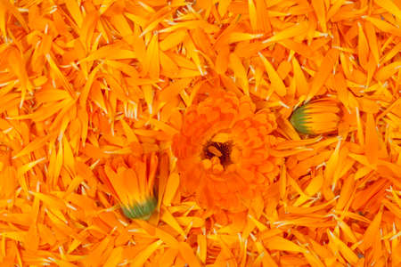 flower petal: fresh petal marigold(Calendula officinalis) as background