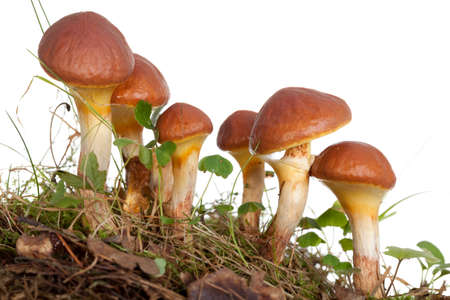edible mushrooms (Suillus grevillei ) on white background