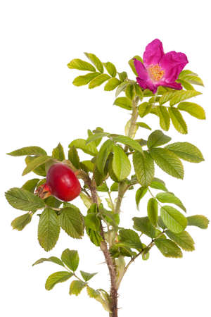 developed: pink developed  briar rose on white background Stock Photo