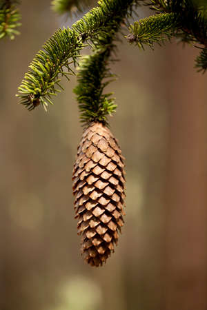 pine needles close up: single cone hang on branch spruce