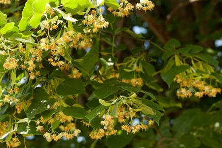 blooming linden tree (Tilia platyphyllos) on background sky