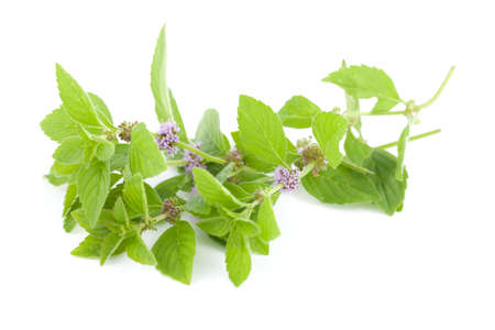 bloem groene munt (polei) op witte achtergrond