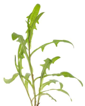 lactuca: Prickly lettuce (Lactuca serriola Torn) on white background