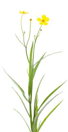lingua: single flower (ranunculus lingua) on white background