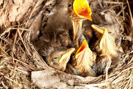 nestling: young blackbird nestling (Turdus merula) in nest Stock Photo