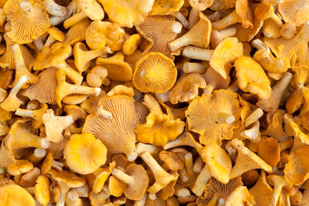 cantharellus: poured out orange mushrooms (Cantharellus cibarius) as food background