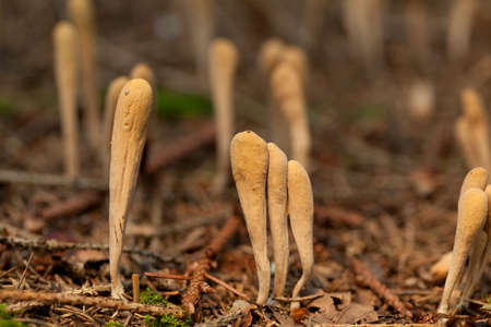 conifer: mushroom (lavariadelphus ligula) grown among conifer needles litter