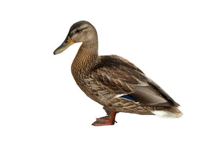 anas platyrhynchos: wild duck (Anas platyrhynchos) on white background