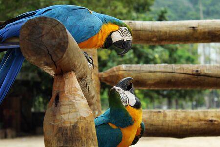 casal: RIO DE JANEIRO - October 12 2015- Blue parrots in Lagoa Rodrigo de Freitas Stock Photo