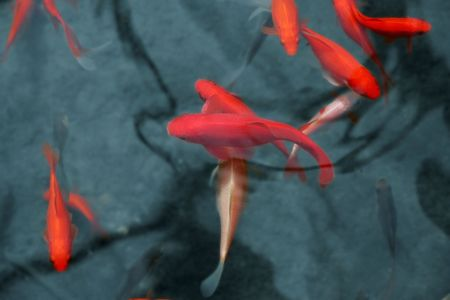 Japanese red koi fish in pond photo