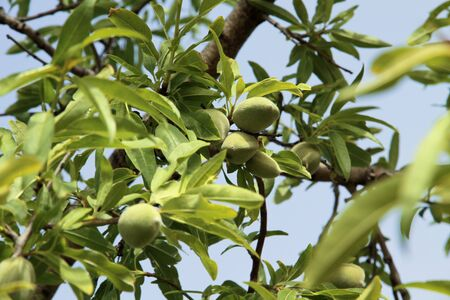 Almond tree with green almonds on a blue sky background Stock Photo - 7072987